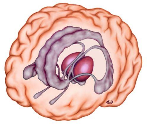 Sistema límbico y amígdala